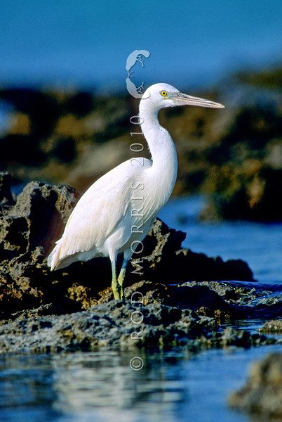 11001-38509 Reef heron (Egretta sacra sacra) white 'phase' standing on a tropical reef. Reef herons come in two colour phases - the dark phase is found around New Zealand's rocky shores. In the tropics, where there are white coral beaches and reefs the white 'phase' predominates *