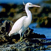 11001-38509 Reef heron (Egretta sacra sacra) white 'phase' standing on a tropical reef. Reef herons come in two colour phases - the dark phase is found around New Zealand's rocky shores. In the tropics, where there are white coral beaches and reefs the white 'phase' predominates