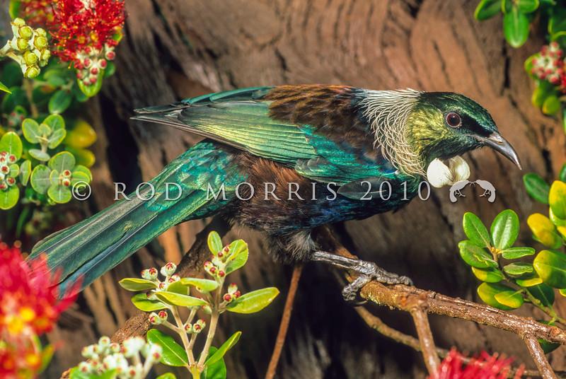 11001-84310 Tui (Prosthemadera novaeseelandiae) male visiting pohutukawa flowers. Otago Peninsula *