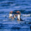 11001-30308  Peruvian penguin (Spheniscus humboldti) four birds coming ashore