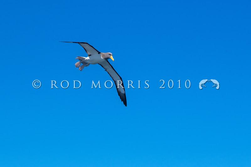 DSC_3030 Chatham Island albatross (Thalassarche eremita)  adult at sea near Pyramid Rock, Chatham Islands *