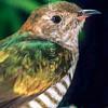 11001-75619 Shining bronze-cuckoo (Chrysococcyx lucidus lucidus) portrait of a fledgling, soon after leaving a grey warbler nest on Otago Peninsula