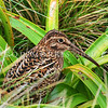 DCS_0125  Auckland Island snipe (Coenocorypha aucklandica aucklandica) adult in Bulbinella meadow. Enderby Island, Aucklands Group