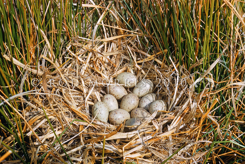 11001-51109  Pukeko (Porphyrio melanotus melanotus) a 'communal nest' formed when two or more females lay in the same nest. This one contains eleven eggs. Western Springs, Auckland *