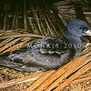 11001-12504  Flesh-footed shearwater (Puffinus carneipes) adult in palm forest. Lord Howe Island *