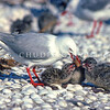 11001-63711  Red-billed gull (Chroicocephalus novaehollandiae scopulinus) adult in colony regurgitating food to three chicks *