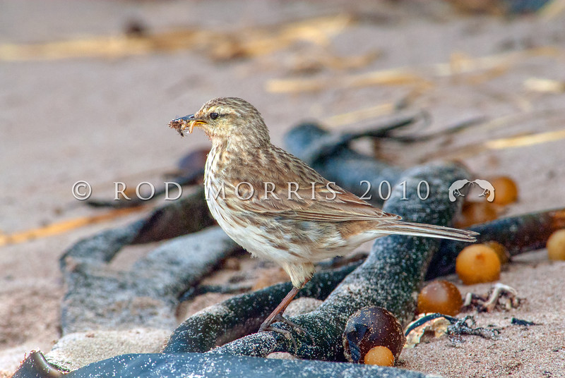 DSC_0110  Auckland Island pipit (Anthus novaeseelandiae aucklandicus) collecting food amongst kelp. Auckland Island pipits are typically larger and yellower than New Zealand pipits. Enderby Island, Auckland Islands *