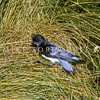 11001-22202 Grey-backed storm petrel (Garrodia nereis) perched at night on tussock. This is New Zealand's smallest seabird *