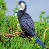 11001-34321  Little shag, or kawaupaka (Phalacrocorax melanoleucos brevirostris) adult in trees