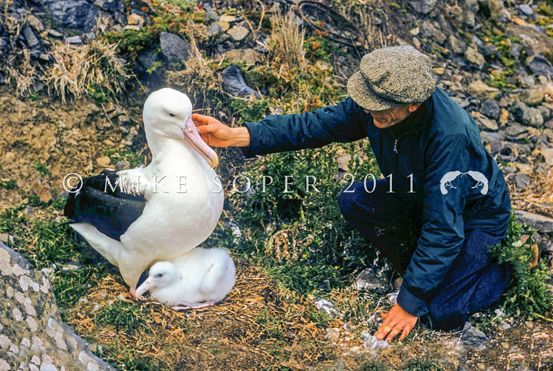11001-08219 Northern Royal albatross (Diomedea sanfordi) an historic photograph of the first wildlife ranger at Taiaroa Head, Stan Sharpe, who looked after the colony from 1951 until 1968. Seen here with an adult and her chick, this photograph was taken some time before 1964