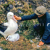 11001-08219 Northern Royal albatross (Diomedea sanfordi) an historic photograph of the first wildlife ranger at the colony, Stan Sharpe, who looked after the colony from 1951 until 1968. Seen here with an adult and her chick, this photograph was taken some time before 1964. Taiaroa Head, Otago Peninsula *