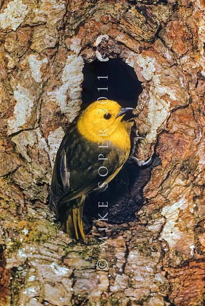 11001-80509  Yellowhead, or mohua (Mohoua ochrocephala) male on beech trunk