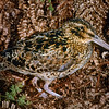 11001-57504 Antipodes Island snipe (Coenocorypha aucklandica meinertzhagenae) adult in polystichum fern. This subspecies is darker dorsally and on the breast, than the Auckland island Snipe, with greyish, rather than yellowish legs. Antipodes Island *