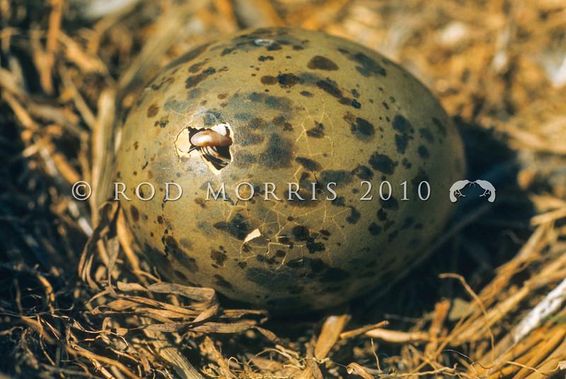 11001-63907  Black-billed gull (Chroicocephalus bulleri) detail of egg pipping in nest. Whitestone River, Southland *