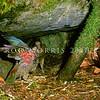 11001-71904 Kea or mountain parrot (Nestor notabilis) adult feeding nestling outside burrow. Tutoko High Bench, Fiordland *