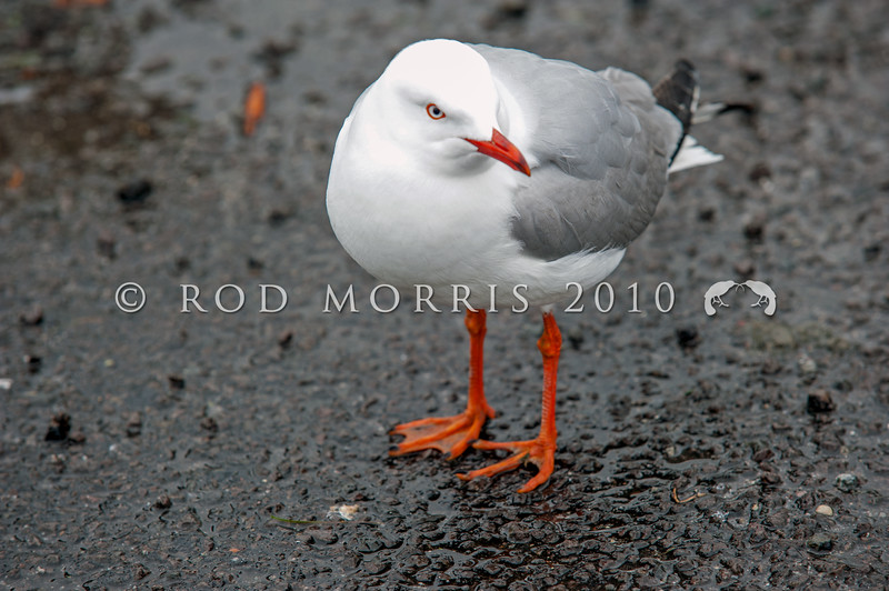 DSC_3216 Red-billed gull (Larus scopulinus) adult from an inland breeding colony at Rotorua. You can see reduced webbing on the feet, which have been corroded by the warm acidic waters near the Sulphur Point breeding colony.