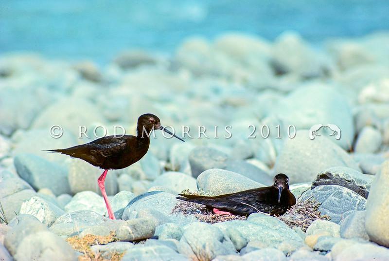 11001-53301  Black stilt (Himantopus novaezelandiae) pair at nest on braided riverbed. Tekapo  River *