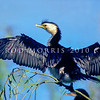 11001-34323 Little shag, or kawaupaka (Phalacrocorax melanoleucos brevirostris) adult drying wings in sun. Rotorua