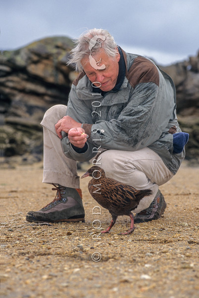 11000-10004 Stewart Island weka (Gallirallus australis scotti) with Sir David Attenborough on Ulva Island during the filming for 'Life of Birds' *