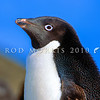 11001-26401  Adelie penguin (Pygocelis adeliae) a circumpolar breeder, with about a third of the world population breeding in the Ross Sea Region of Antarctica. Portrait of head
