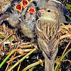 11001-86203 House sparrow (Passer domesticus domesticus) female with four begging nestlings outside the nest.The most well known of all our introduced birds, this commensal species benefits from our buildings and our agriculture without affecting us substantially. Broad Bay, Otago Peninsula *
