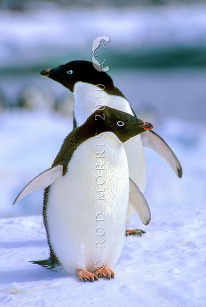 11001-26708  Adelie penguin (Pygocelis adeliae) circumpolar, and breeding in large colonies in the Ross Sea Region of Antarctica. Portrait of pair 8