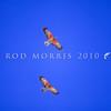 11001-72222 Kea or mountain parrot (Nestor notabilis) pair in sky