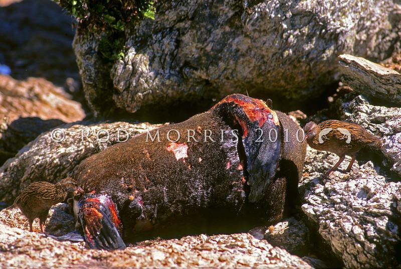 11001-48904 Western weka (Gallirallus australis australis) pair feeding on fur seal carcass in colony. Haast, Westland *