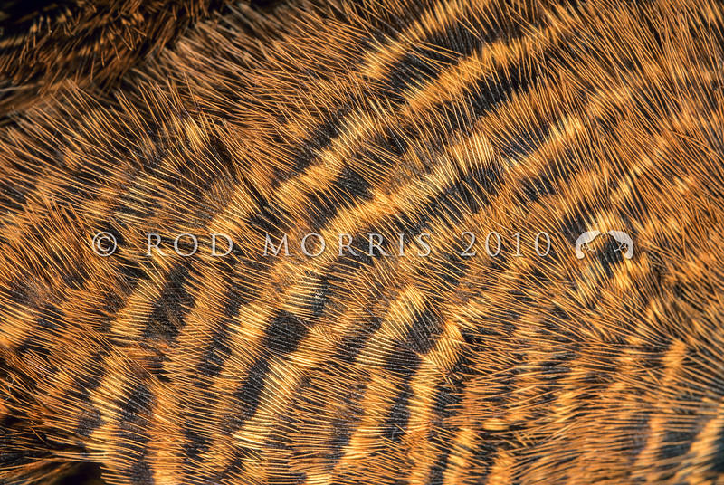 11001-49210 Buff weka (Gallirallus australis hectori) detail of plumage