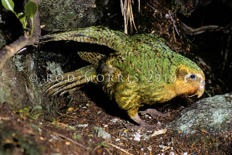 11001-70307  Kakapo (Strigops habroptilus) 'Butterburr' - one of the last surviving Fiordland males displaying ('dancing') in his 'arena' in the head of Sinbad Gully in February 1975. This photo was taken in the years just before kakapo became extinct on mainland New Zealand *
