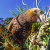 11001-71411  North Island kaka (Nestor meridionalis septentrionalis) adult in forest. Little Barrier Island *