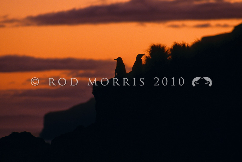 11001-25408 Yellow-eyed penguin (Megadyptes antipodes) pair on cliffs at sunset.Double Bay, Otago Peninsula *