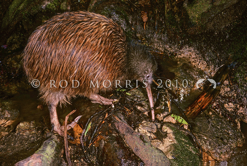 11001-01210 Eastern brown kiwi (Apteryx mantelli) foraging *