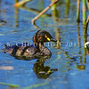 11001-06322 Australasian little grebe (Tachybaptus novaehollandiae novaehollandiae) a vagrant male swimming in reeds. Since early 1980's this species has bred on small ponds in Northland, expanding its range in the North Island more recently. Despite initial records from the South Island, none are currently known to be breeding there *