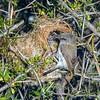 11001-80602 Grey warbler (Gerygone igata) male at nest in matagouri. Lake Ohau *