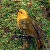 11001-80406 Yellowhead, or mohua (Mohoua ochrocephala) male on beech trunk, Catlins forest.