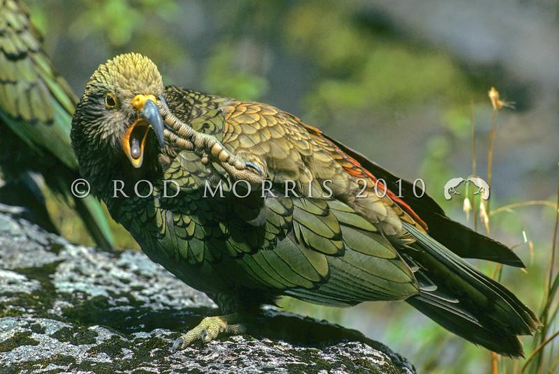 11001-71815  Kea (Nestor notabilis) juvenile scratching its beak. Miller Peak, Fiordland *