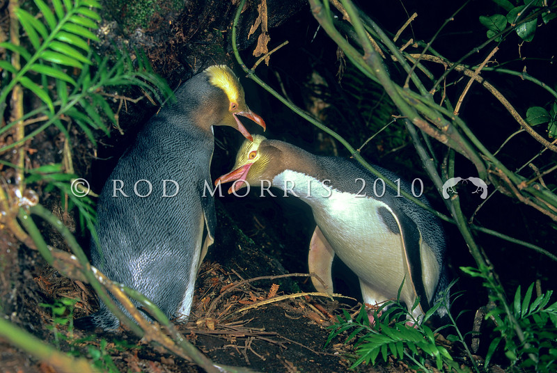 11001-25109  Yellow-eyed penguin (Megadyptes antipodes) pair greeting at nest in forest. Codfish Island *
