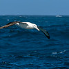 DSC_2974 Northern Royal albatross (Diomedea sanfordi) adult soaring over the southern ocean, south east of Pyramid Rock, Chatham Islands *