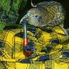 11001-71819 Kea or mountain parrot (Nestor notabilis) stealing a tramper's pipe *