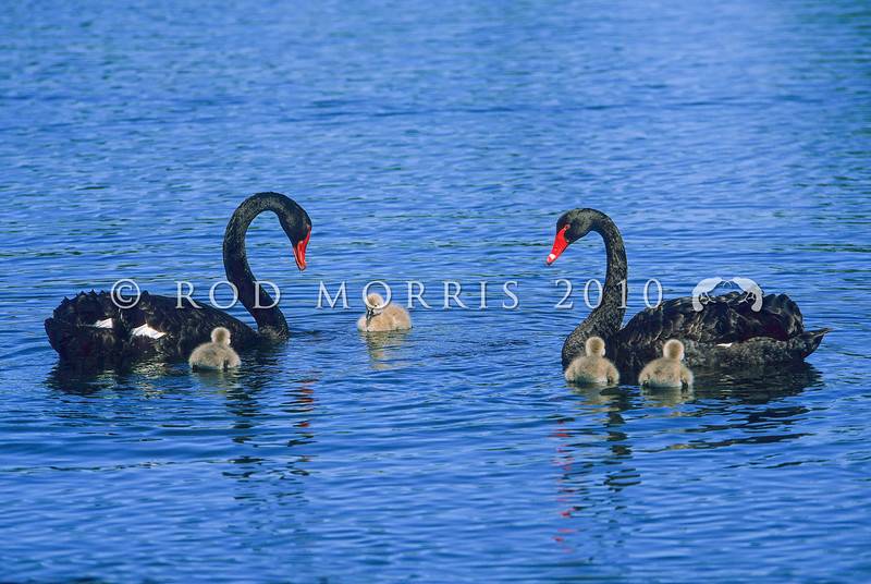 11001-39902 Black swan (Cygnus atratus) pair with cygnets on lake. Black swan are widespread and abundant throughout NZ and the Chathams *