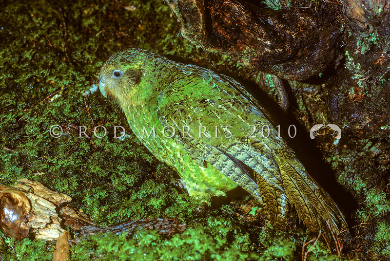 11001-70304  Kakapo (Strigops habroptilus) one of the last surviving Fiordland males in his 'arena' on a damp night in the Transit Valley in March 1976.This photo was taken in the final years before kakapo became extinct on mainland New Zealand *