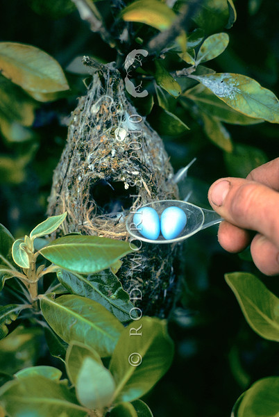 11001-82103 Black robin, or kakaruia (Petroica traversi) eggs were placed in Chatham Island warbler nests for cross-fostering. As a precaution plastic eggs (shown) were trialled in warbler nests first *