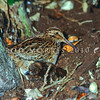 11001-57915 Chatham Island snipe (Coenocorypha pusilla) adult with small downy chick in Mangere bush. Mangere Island, Chathams Group *