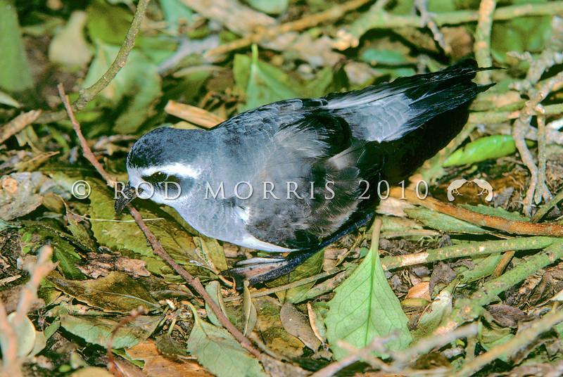 11001-22304 NZ white-faced storm petrel (Pelagodroma marina maoriana) on forest floor