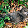11001-20901  Grey-faced petrel (Pterodroma gouldi) adult in ferns