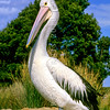 11001-31306 Australian pelican (Pelecanus conspicillatus) adult *