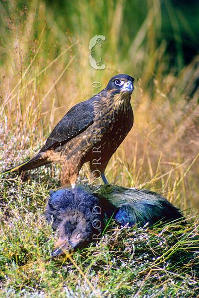 11001-45905 New Zealand falcon (Falco novaeseelandiae) juvenile bird on a young takahe kill. Miller Peaks, Murchison Mtns *