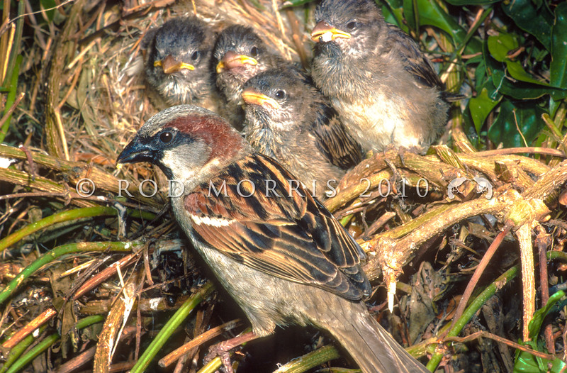 11001-86201 House sparrow (Passer domesticus domesticus) male with four nestlings outside the nest.The most well known of all our introduced birds, this commensal species benefits from our buildings and our agriculture without affecting us substantially. Broad Bay, Otago Peninsula *