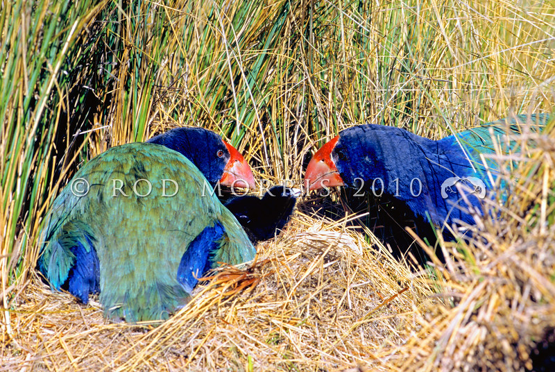 11001-51418 Takahe (Porphyrio hochstetteri) pair at nest feeding small tussock fragment to day old chick. Takahe Valley, Murchison Mountains *